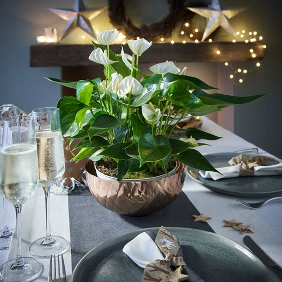 Anthurium Table Top White