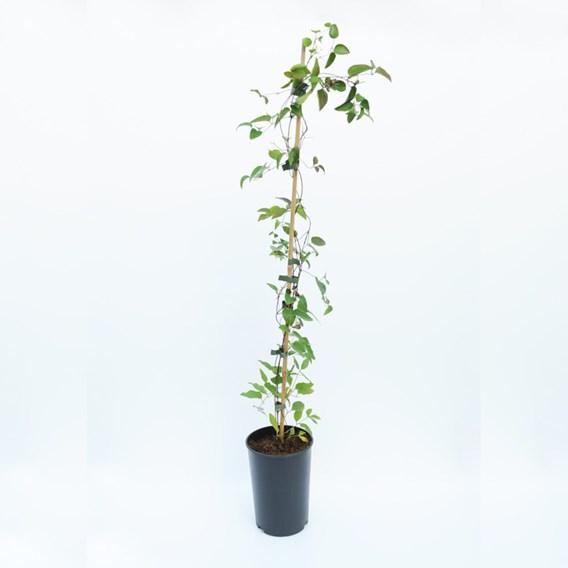 Clematis texensis Plant - Princess Diana