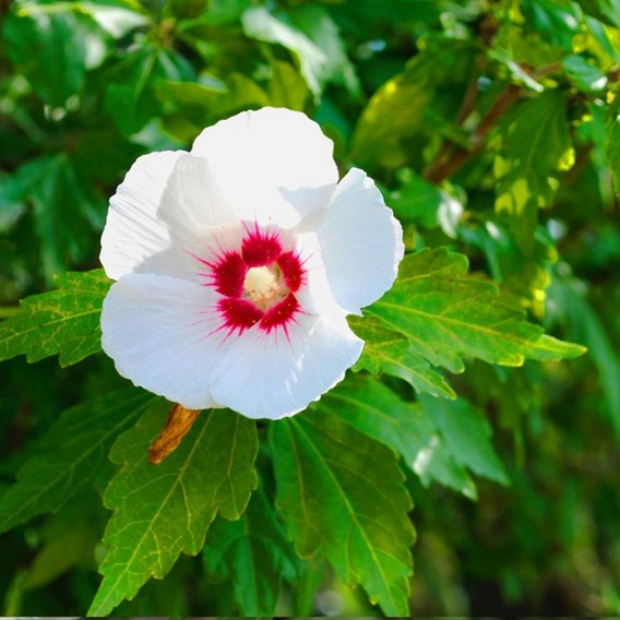 Hibiscus syriacus Plant - Red Heart