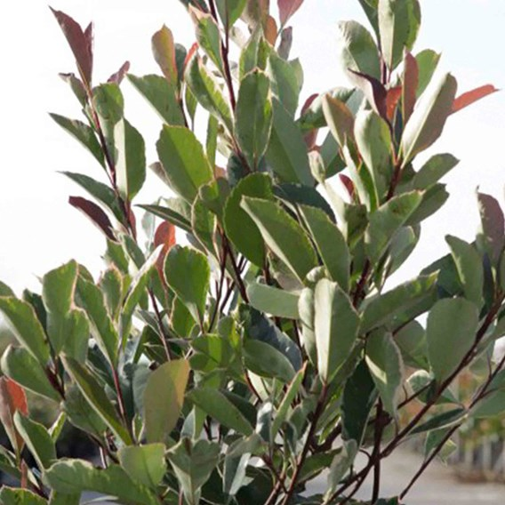 Photinia fraseri Louise (PBR)