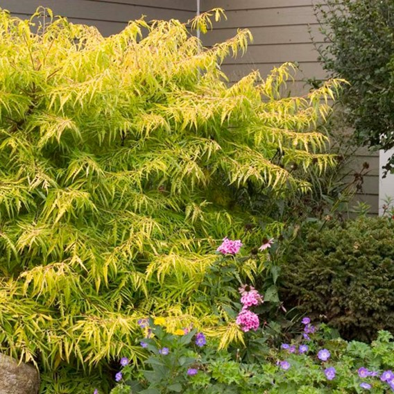 Rhus typhina TIGER EYES® FIRST EDITIONS® (PBR)