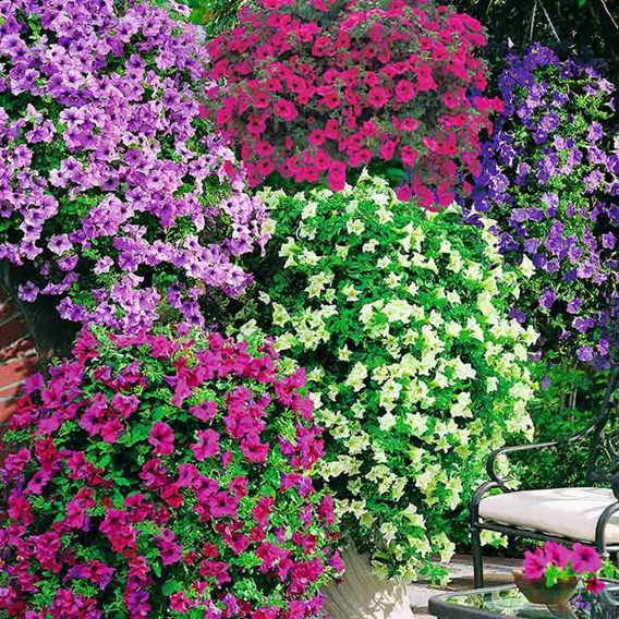 Trailing Petunia Mix Our Selection (20)