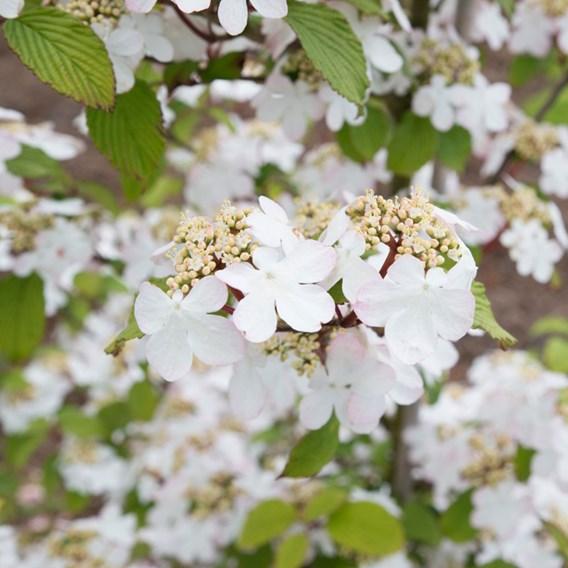 Viburnum Plant - Killimanjaro