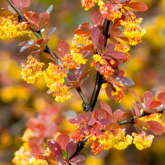 Berberis Ott. Superba