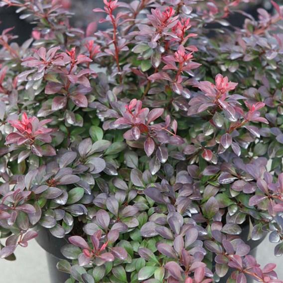 Berberis thunbergii Plant - Atropurpurea Nana
