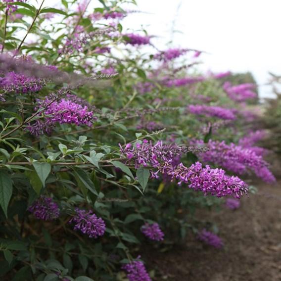 Buddleja Argus® Plant - Velvet