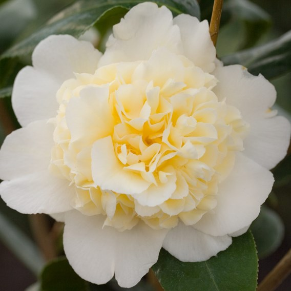 Camellia japonica Plant - Jury's Yellow