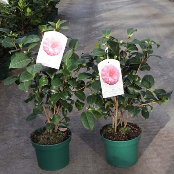 Camellia japonica Plant - Virginia Franco