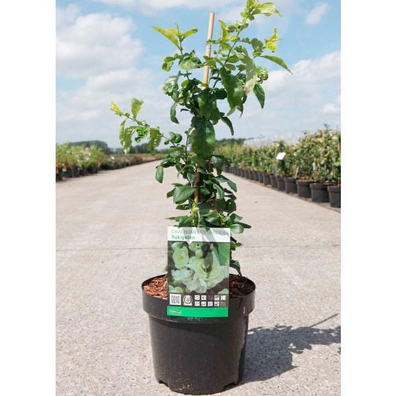 Chaenomeles spec. Plant - Yukigoten