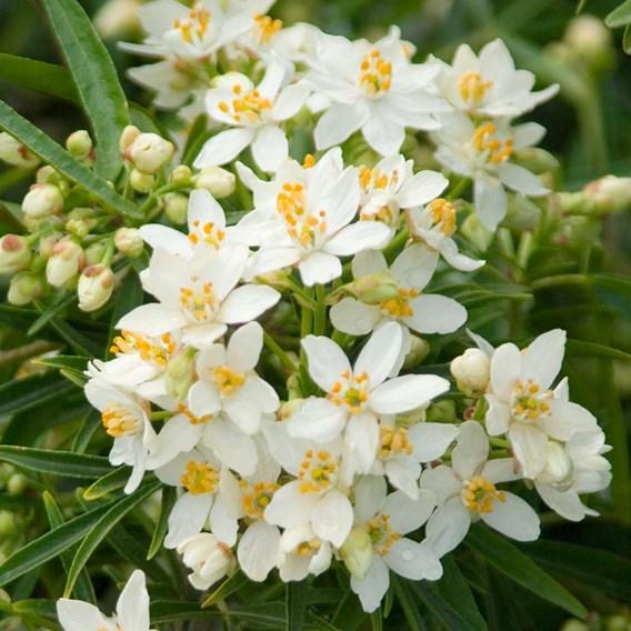 Choisya Plant - Aztec Pearl®