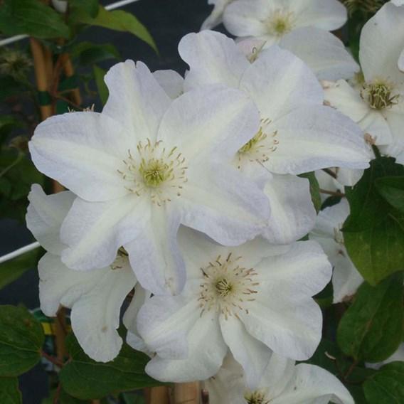 Clematis Plant - Yukikomachi