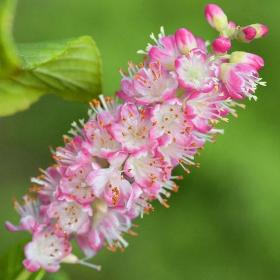 Clethra alnifolia Plant - Ruby Spice