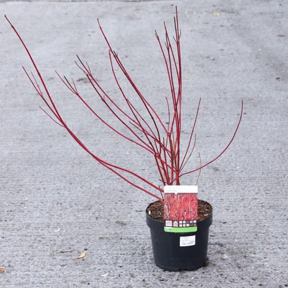 Cornus Alba Sibirica Plant