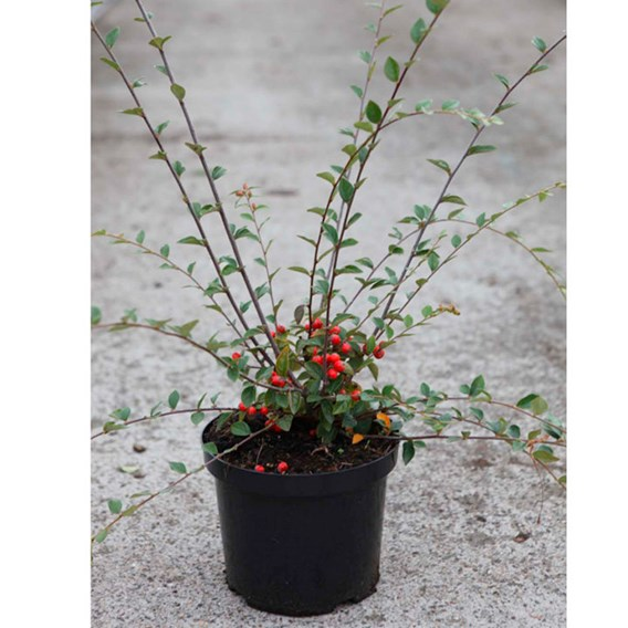 Cotoneaster franchetii Plant