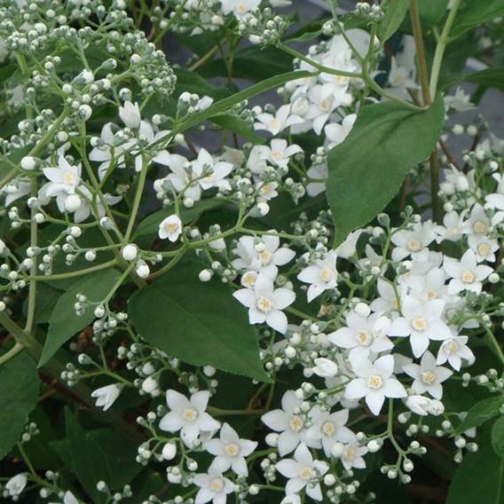 Deutzia Setchuenensis Corymbiflora Noble