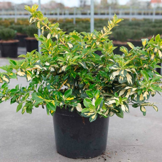 Euonymus Fort. Blondy