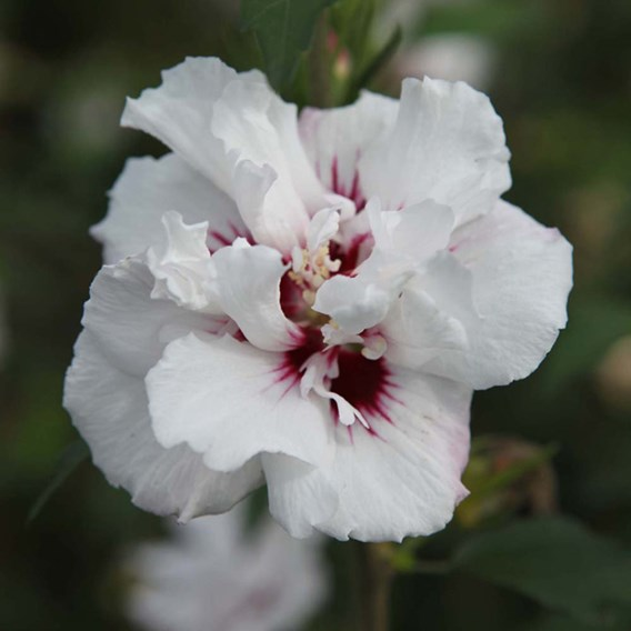 Hibiscus Syr. Lady Stanley