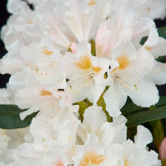 Rhododendron Plant - Cunningham's White