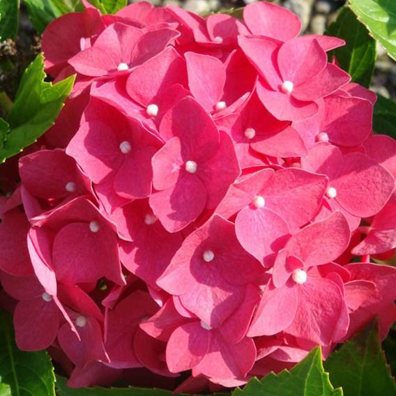 Hydrangea M. Leuchtfeuer