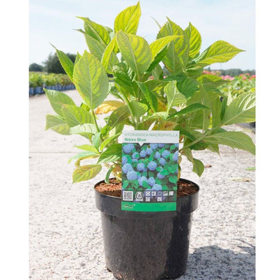 Hydrangea macrophylla Plant - Nikko Blue