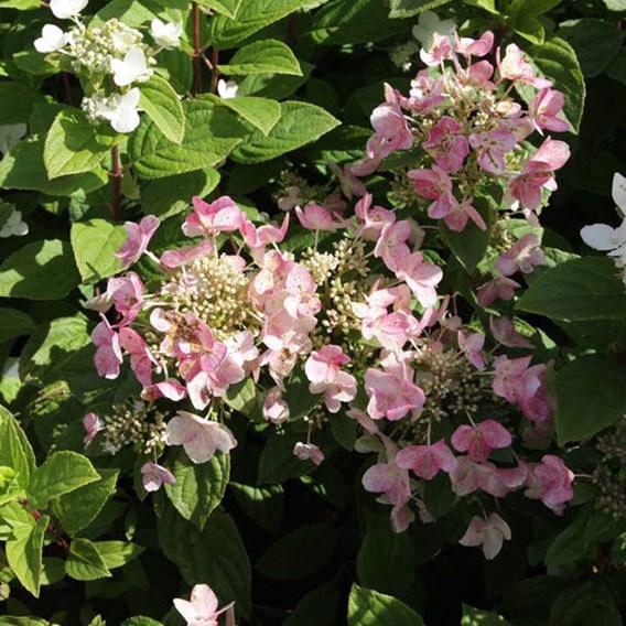 Hydrangea paniculata Plant - Dart's Little Dot