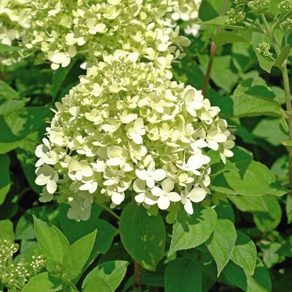 Hydrangea paniculata Plants - Limelight®