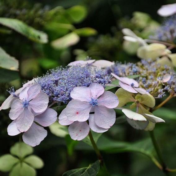 Hydrangea Serr. Bluebird