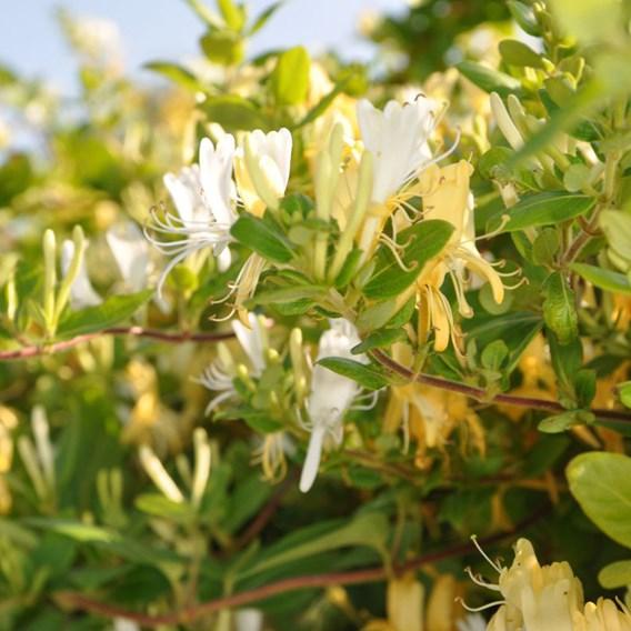 Lonicera japonica Plant – Halliana 2 Litre Pot x 1