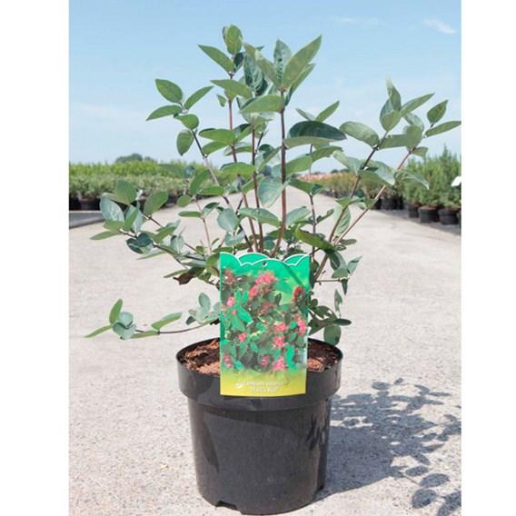 Lonicera tatarica Plant - Hack's Red