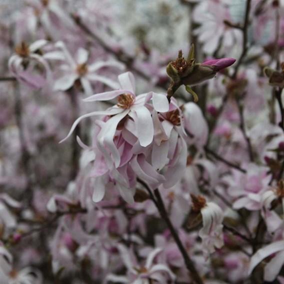 Magnolia loebneri Plant - Merrill