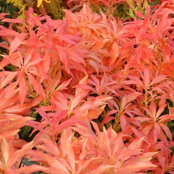 Pieris Forest Flame