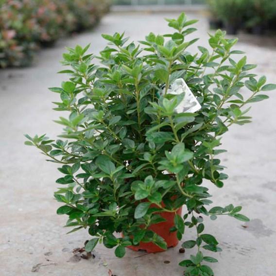Rhododendron (AJ) Plant - Palestrina