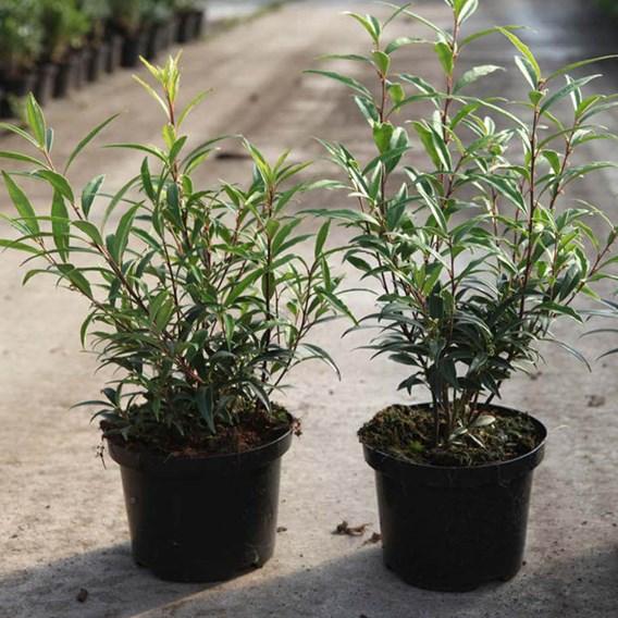 Sarcococca hookeriana humilis Plant