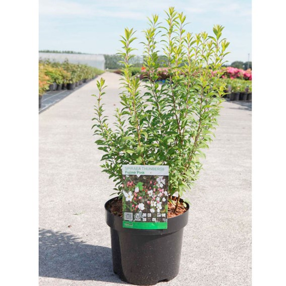 Spiraea Thunb Fujimo Pink