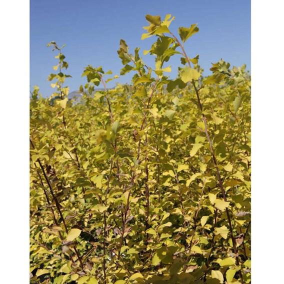 Staphylea colchica Plant