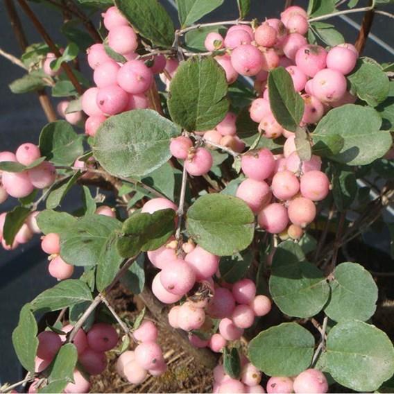 Symphoricarpos d. Plant - White Hedge