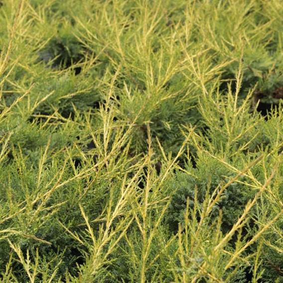 Juniperus Comm. Arnold