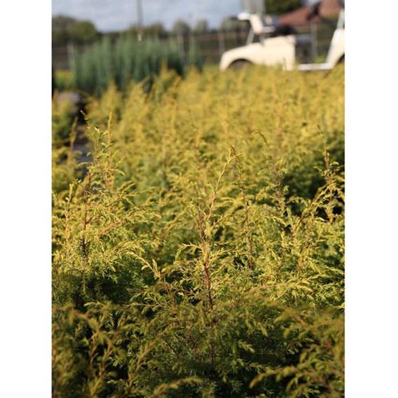 Juniperus communis Plant - Green Carpet
