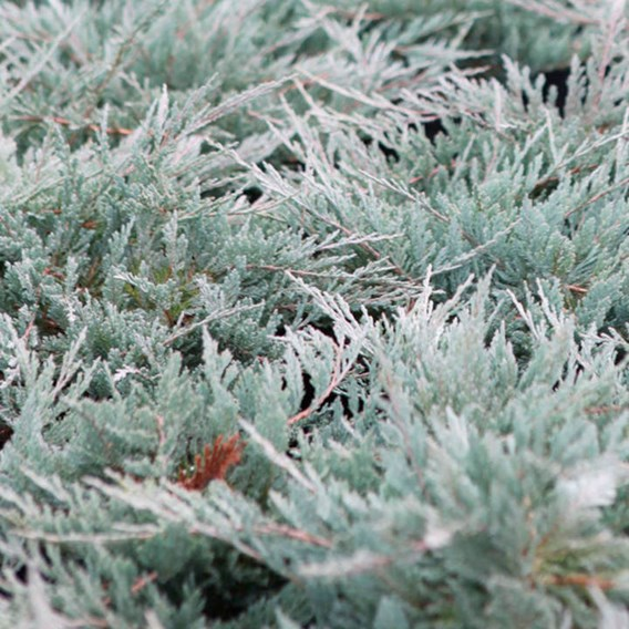 Juniperus Hor. Blue Chip