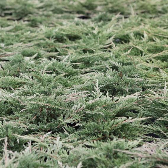 Juniperus Hor. Prostrata
