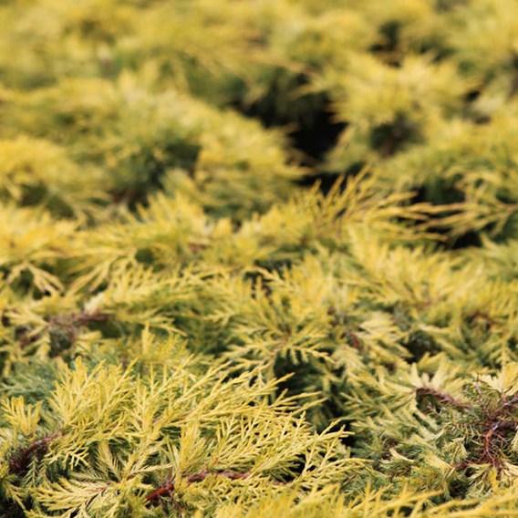 Juniperus Pf. Mint Julep