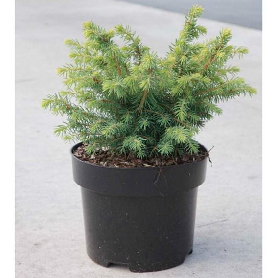 Picea Glauca Barus