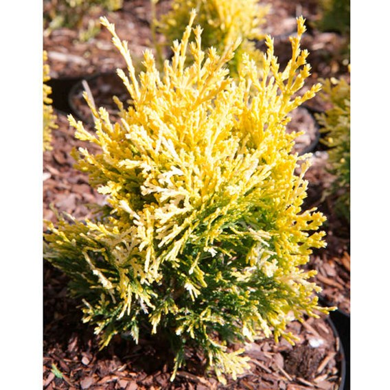 Platycladus Or. Fleck