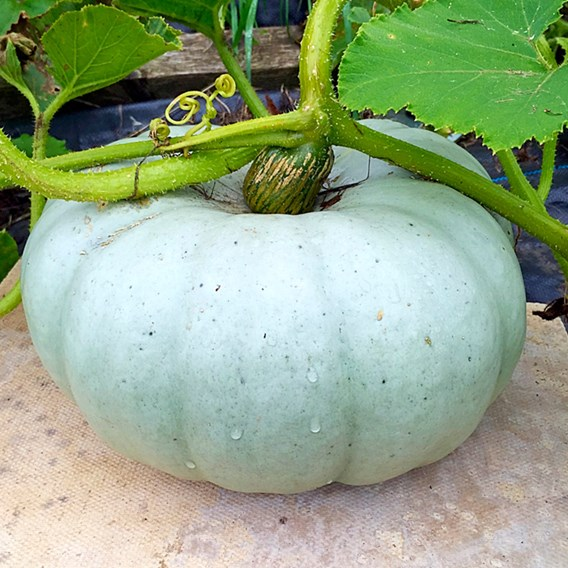 Pumpkin Old Boer White