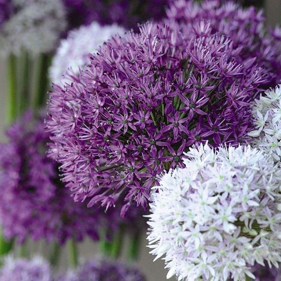 Allium Big Impact Mixed