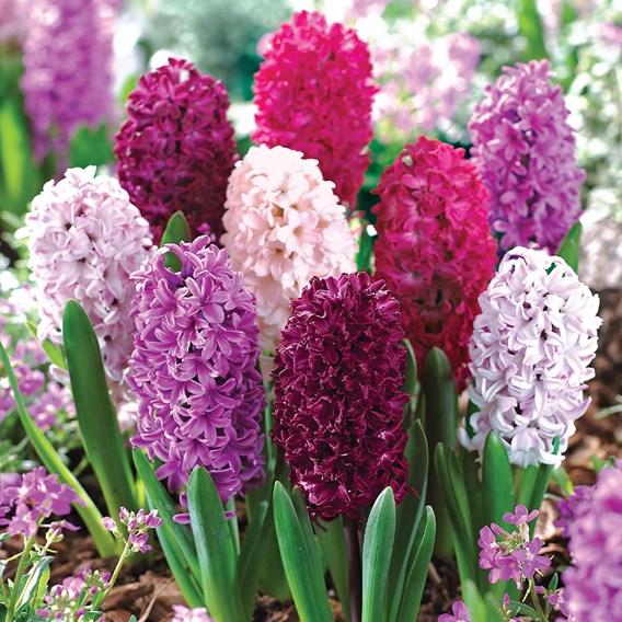 Hyacinth Berries & Cream Mixture