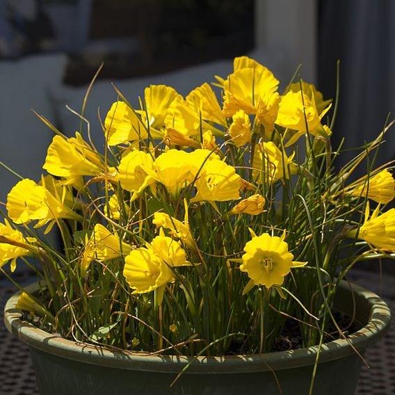 Daffodil Golden Bells