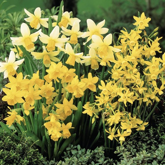Daffodil Miniature Mixed Bulbs