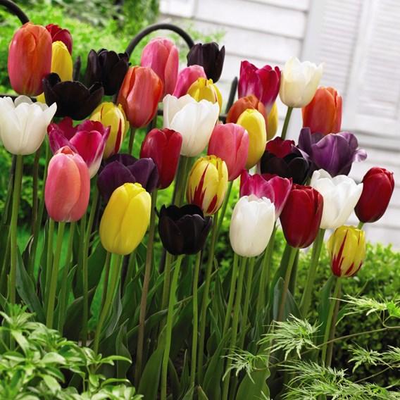 Tulip Bulbs - Everlasting Mixed
