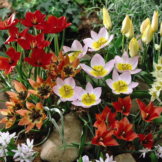 Tulip Bulbs - Ground Cover Mix